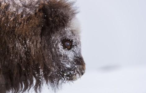Moskus i snøstorm